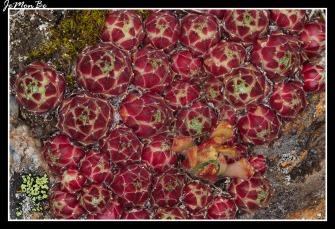 Colmenillas (Cytinus hypocistis) 01