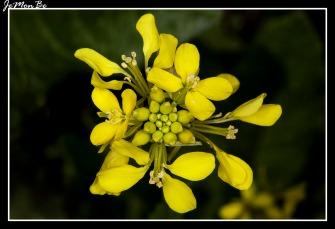 Colza (Brassica napus) 01