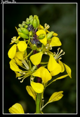 Colza (Brassica napus) 02