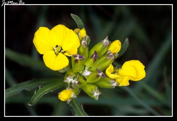 Colza (Brassica napus) 03