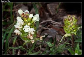Consuelda blanca (Prunela Laciniata)