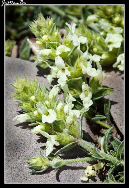 Consuelda menor (Prunella laciniata)