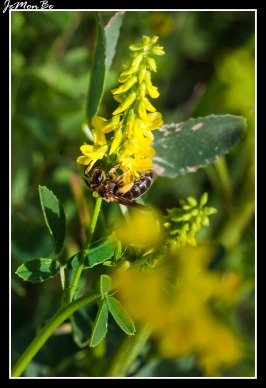 Corona de olor (Melilotus sulcatus) 01
