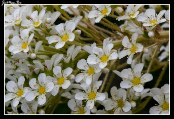 Corona de rey (Saxifraga longifolia) 01