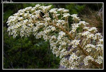 Corona de rey (Saxifraga longifolia) 03