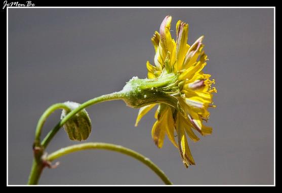 Crepis leontodontoides 02