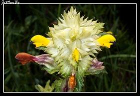 Cresta de gallo (Rhinanthus angustifolius) 01