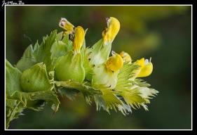 Cresta de gallo (Rhinanthus pumilus) 01