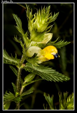 Cresta de gallo (Rhinanthus pumilus)