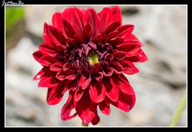 Crisantemo (Chrysanthemum) 01