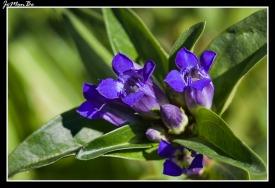 Cruz de genciana (Gentiana cruciata) 02