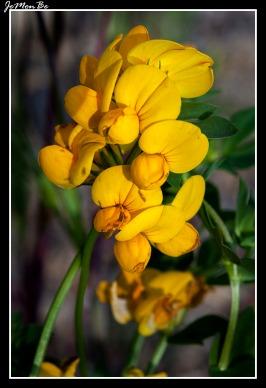 Cuernecillo (Lotus corniculatus) 00