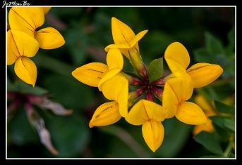 Cuernecillo (Lotus corniculatus) 01