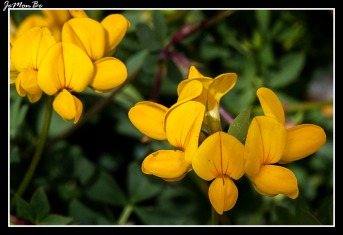 Cuernecillo (Lotus corniculatus) 02