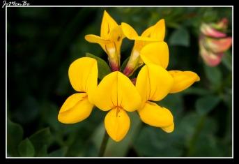 Cuernecillo (Lotus corniculatus) 03