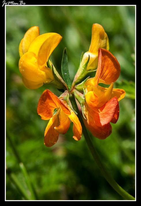 Cuernecillo (Lotus corniculatus) 04