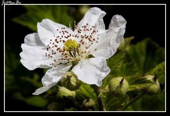 Escaramujo (Rosa arvensis)