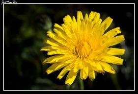 Escorzonera (Scorzonera aristata) 00