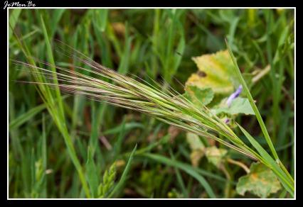 Espiguilla (Bromus diandrus)