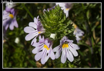 Eufrasia (Euphrasia salisburgensis)