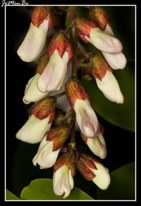 Falsa acacia (Robinia pseudoacacia) 01