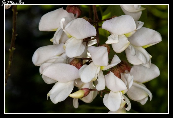 Falsa acacia (Robinia pseudoacacia) 03