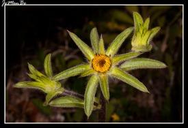 Falsa arnica (Pallensis spinosa)