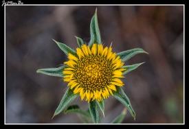 Falsa árnica (Pallenis spinosa)
