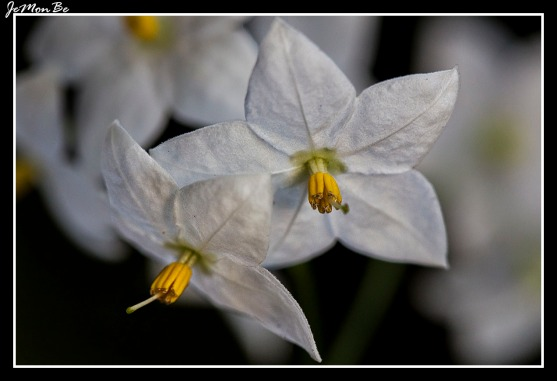 Falso jazmín (Solanum jasminoides)
