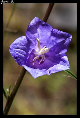Farolillo (Campanilla rotundifolia) 00