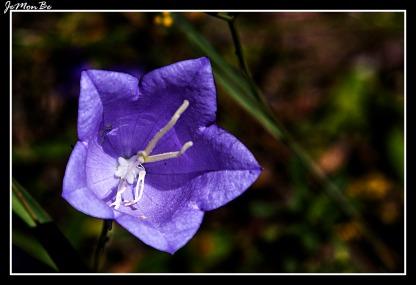 Farolillo (Campanilla rotundifolia) 01