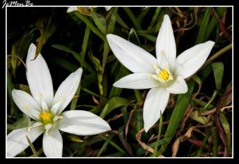 Flor de gallina (Ornithoglum umbellatum) 01