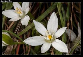 Flor de gallina (Ornithoglum umbellatum) 03