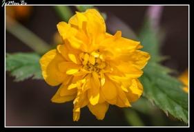 Flor de globo (Kerrya japonica) 01