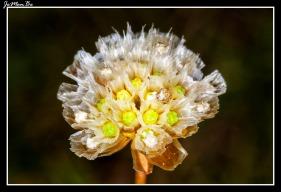 Flor de papel (Armeria alpina)