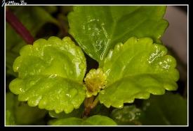 Flor del dinero (Plectranthus verticillatus) 01