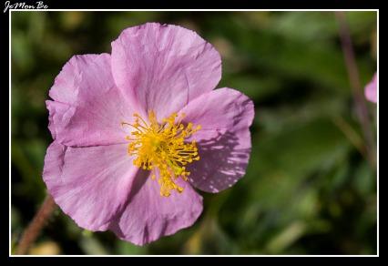 Flor del Sol (Helianthemum apenninum) 01