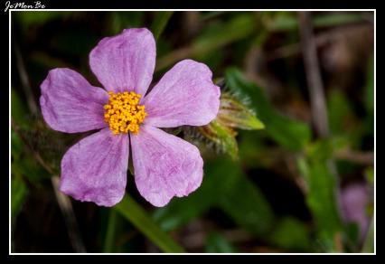 Flor del Sol (Helianthemum apenninum) 02