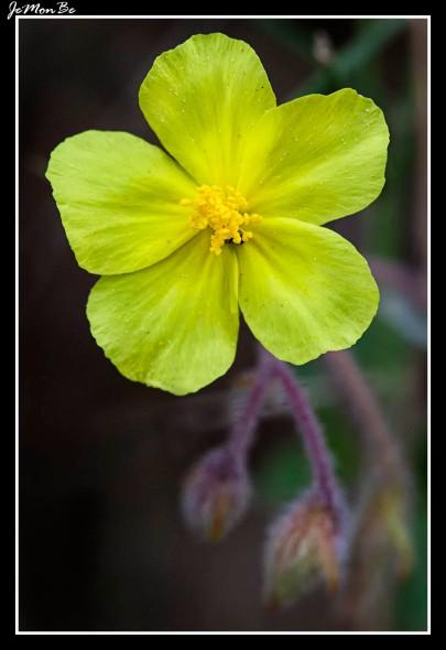 Flor del Sol (Helianthemum hirtum)