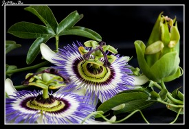 Flor pasionaria (Passiflora caeruela) 01