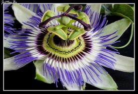 Flor pasionaria (Passiflora caeruela) 02