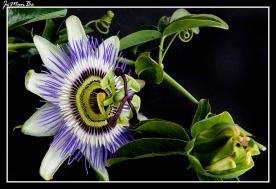 Flor pasionaria (Passiflora caeruela) 03