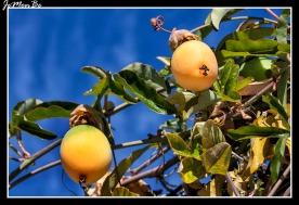 Flor pasionaria (Passiflora caeruela) 04
