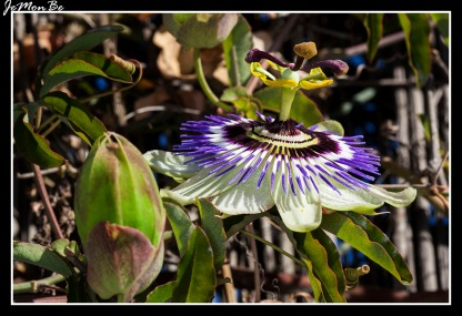 Flor pasionaria (Passiflora caeruela) 05